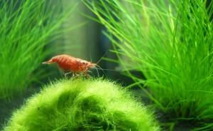 Nano Aquarium Garnelen